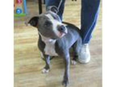 Adopt SHELBY a Gray/Silver/Salt & Pepper - with White American Pit Bull Terrier