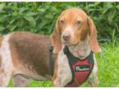 Adopt Clara a Brown/Chocolate - with White Beagle / Mixed dog in Elmwood Park