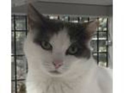 Adopt Callie a White (Mostly) Domestic Shorthair (short coat) cat in