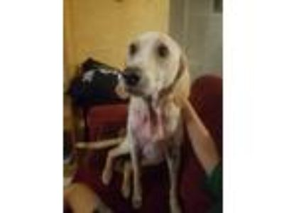 Adopt Stella a White Labrador Retriever / Hound (Unknown Type) / Mixed dog in