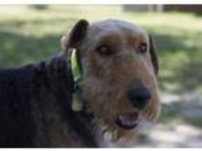 Adopt Layla a Black Airedale Terrier / Mixed dog in Colorado Springs