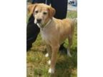 Adopt Bailey a Labrador Retriever / Mixed dog in Atlantic City, NJ (25503025)