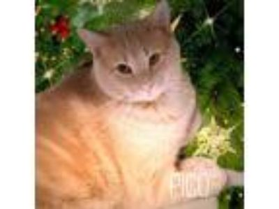 Adopt Pico a Domestic Short Hair