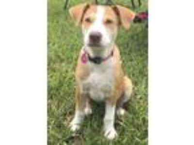 Adopt Taz Rico a Tan/Yellow/Fawn - with White Labrador Retriever / Mixed dog in