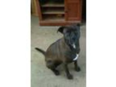 Adopt Rosy/ Hillary a Black - with White Boxer dog in Randleman, NC (25004705)