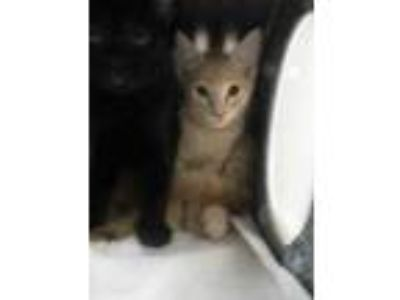 Adopt Karev a Orange or Red Domestic Shorthair / Domestic Shorthair / Mixed cat