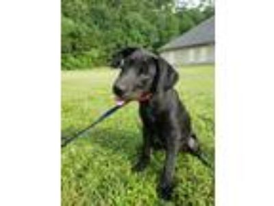 Adopt Willie a Labrador Retriever