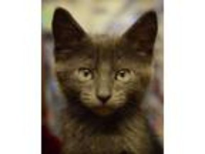 Adopt Aqua Man - NORTH CONROE PETSMART a Russian Blue