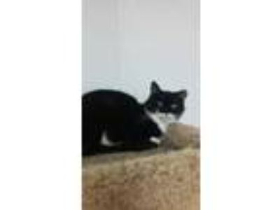 Adopt Dixie a All Black Domestic Shorthair / Domestic Shorthair / Mixed cat in