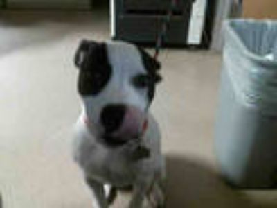 Adopt MAX a White - with Black American Pit Bull Terrier / Mixed dog in Plano
