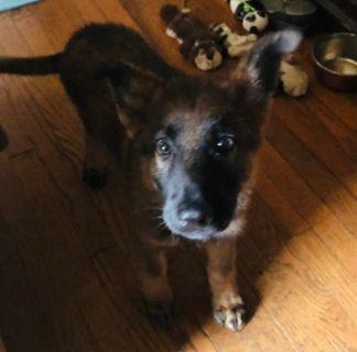 German Shepherd Dog PUPPY FOR SALE ADN-98665 - German Shepherd Puppy Needs Happy Home
