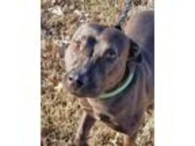 Adopt Nicki a Catahoula Leopard Dog, Pit Bull Terrier