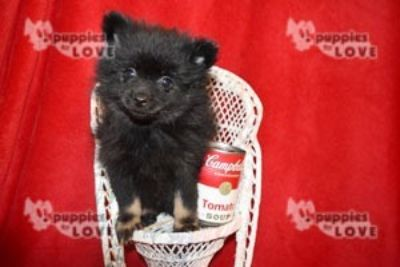 Pomeranian PUPPY FOR SALE ADN-92800 - AKC  FULL REGISTRATION