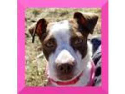 Adopt Clover a Brown/Chocolate - with White Jack Russell Terrier / Mixed dog in