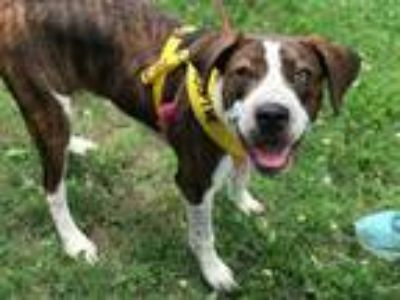 Adopt Morgan a Tricolor (Tan/Brown & Black & White) Hound (Unknown Type) dog in