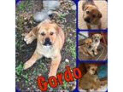 Adopt Gordo a Red/Golden/Orange/Chestnut - with White Labrador Retriever /