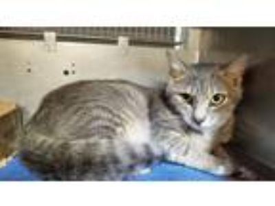 Adopt Opal a Gray, Blue or Silver Tabby Domestic Shorthair (short coat) cat in