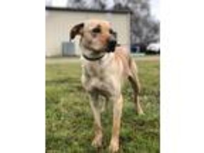 Adopt Trixie a Labrador Retriever