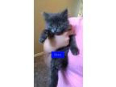 Adopt Zazu a Domestic Medium Hair, Russian Blue