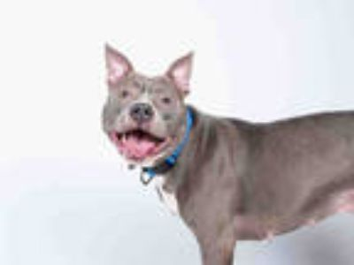 Adopt AZTEC a Gray/Silver/Salt & Pepper - with White American Pit Bull Terrier /