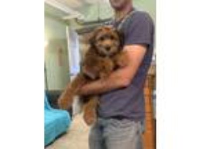 Adopt Mayhew available 5/11/19 a Wheaten Terrier, Poodle