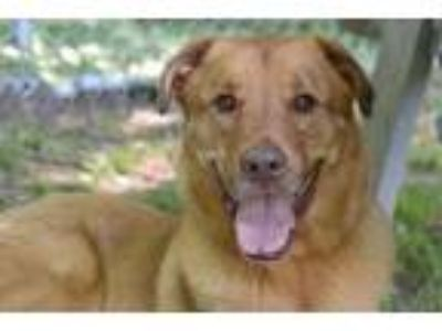 Adopt Moose a Tan/Yellow/Fawn Shepherd (Unknown Type) / Mixed dog in Glenville