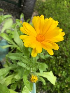Edible Flower and Herb combo - Calendula (Pot Marigold), Feverfew and Johnny Jump Ups