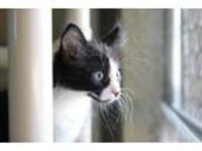 Adopt Duffy a All Black Domestic Longhair / Domestic Shorthair / Mixed cat in