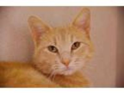 Adopt Ari a Tan or Fawn Domestic Shorthair / Domestic Shorthair / Mixed cat in