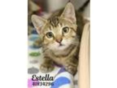 Adopt Estella a Gray or Blue Domestic Shorthair / Domestic Shorthair / Mixed cat