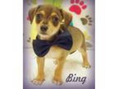 Adopt Bing a Tricolor (Tan/Brown & Black & White) Dachshund / Terrier (Unknown
