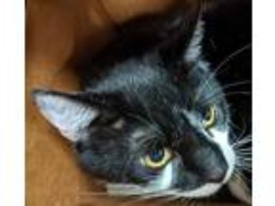 Adopt Domino a Domestic Shorthair / Mixed cat in San Diego, CA (25807714)
