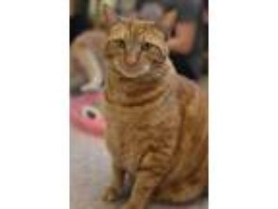 Adopt Tango a Domestic Short Hair