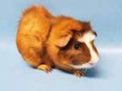 Adopt Hurbert a Brown or Chocolate Guinea Pig / Mixed small animal in Golden