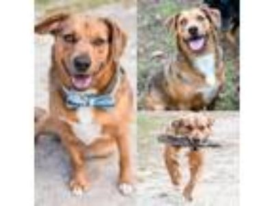 Adopt STONE a Cattle Dog, Mixed Breed