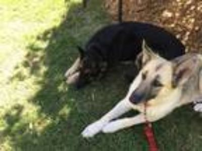 Adopt Arya a Black - with White German Shepherd Dog / Mixed dog in Concord