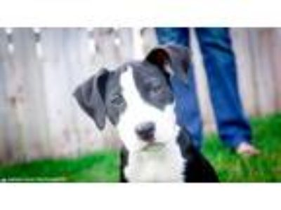 Adopt Sadie a Black - with White American Pit Bull Terrier / Mixed dog in Grand
