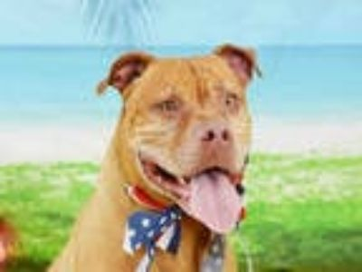 Adopt DIESEL a Tan/Yellow/Fawn American Pit Bull Terrier / Mixed dog in Fort