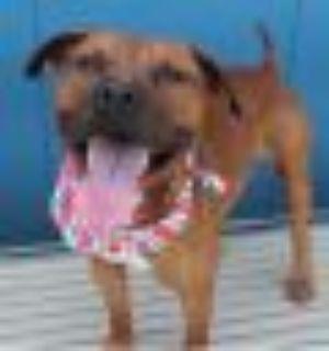 Rusty Black Mouth Cur - Labrador Retriever Dog