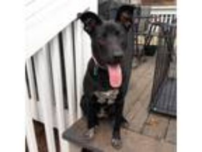 Adopt Nova a Black - with White Labrador Retriever / Bluetick Coonhound dog in