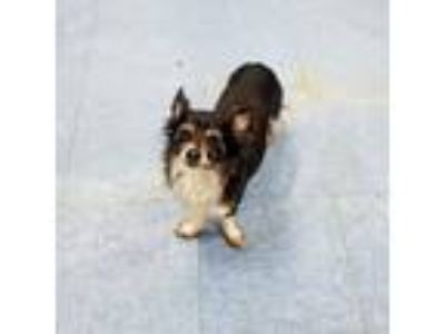Adopt Jill (& Ms. Jet - Bonded Pair) a Silky Terrier