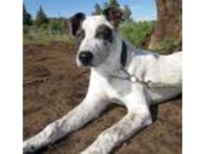 Adopt Lance a White Australian Cattle Dog / Mixed dog in Redmond, OR (25276035)