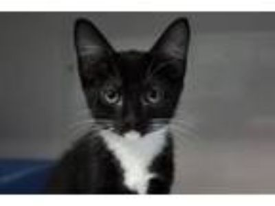 Adopt Q*Bert a Domestic Short Hair, Manx