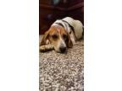 Adopt Chrystal a Hound (Unknown Type) / Mixed dog in Roxboro, NC (24577267)