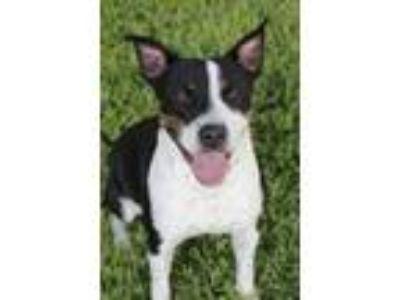 Adopt Reba 2 a Australian Cattle Dog / Blue Heeler, Boxer