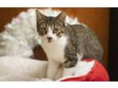 Adopt Spidey a Domestic Short Hair