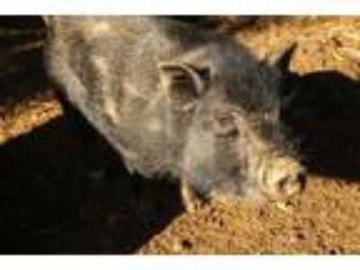 Adopt Supernova a Pig (Potbellied) farm-type animal in Asheville, NC (18123123)