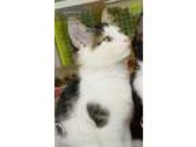 Adopt Carver a White Domestic Shorthair / Mixed cat in Youngsville