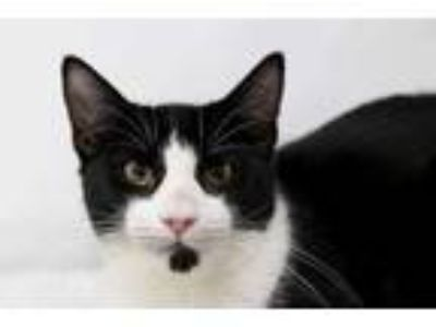 Adopt Toby Roberts 0518 a All Black Domestic Shorthair / Domestic Shorthair /