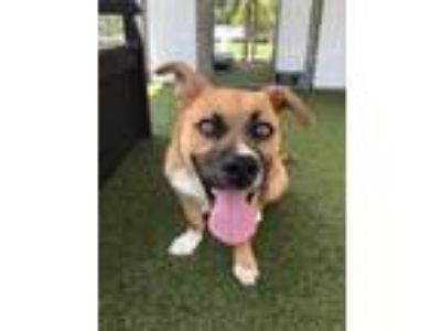 Adopt Zeppelin a Mixed Breed, Corgi